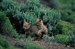Argentine grey / Patagonian fox young playing, {Pseudolopex griseus} Torres del Paine NP, Chile - Hermann Brehm
