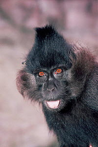 Black mangabey, young male {Cercocebus / Lophocebus aterrimus} from central Africa - captive - Rod Williams