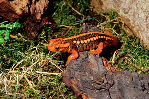 Crocodile newt {Tylototriton verrucosus} from Asia - Rod Williams