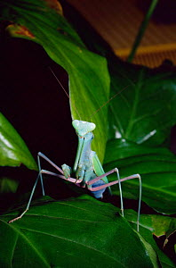 Giant asian praying mantis {Hierodula membranacea} male, captive from India - Rod Williams
