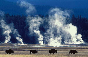 Line of Bison {Bison bison} geysers steaming, Yellowstone National Park, USA. - Pete Cairns