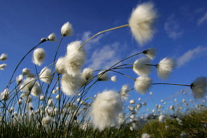 RF- Cotton Grass (Eriophorum angustifolium) blowing in wind against blue sky, Norway. (This image may be licensed either as rights managed or royalty free.) - Peter Cairns