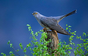 European Cuckoo {Cuculus canorus} male display posture Cairngorms, Scotland. Spring.  -  Pete Cairns
