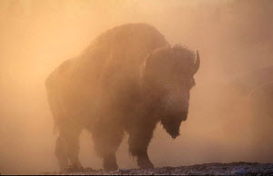 Bison {Bison bison} bull silhouetted in dawn mist, Yellowstone National Park, USA. - Pete Cairns