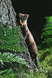 Pine marten {Martes martes} Cairngorms National Park, Scotland, UK. - Pete Cairns