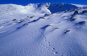 Rock Ptarmigan {Lagopus mutus} tracks leading into Grampian Mountains, Scotland. - Pete Cairns