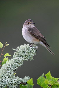 Spotted flycatcher {Muscicapa striata} in spring, Cairngorms, Scotland. - Pete Cairns