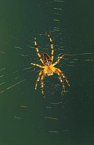 Garden spider, female on web {Araneus diadematus} Germany - Ingo Arndt