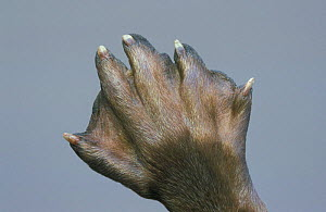 European river otter foot close-up {Lutra lutra} Germany - Ingo Arndt