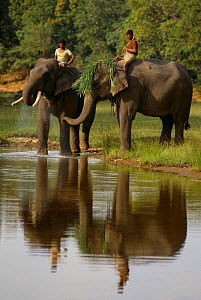 Mahouts take Indian elephants to river after days work, Bandhavgarh NP. India  -  Staffan Widstrand