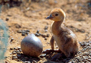 Newly hatched Demoiselle crane chick next to unhatched egg, Russia.  -  Igor Shpilenok