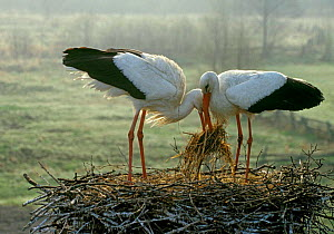 White storks {Ciconia ciconia} place manure in nest to incubate eggs, Russia. Bryanksy  -  Igor Shpilenok