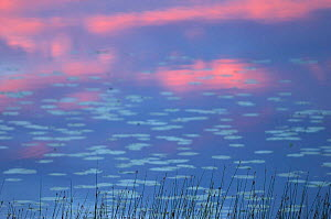 Water lilies in lake at sunset, Varmland, Sweden.  -  Staffan Widstrand