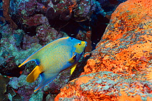 Queen angelfish (Holacanthus ciliaris) and sponges, Bonaire, Caribbean.  -  Georgette Douwma