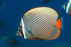 Redtail / Collared butterflyfish (Chaetodon collare) Andaman Sea, Thailand.  -  Georgette Douwma