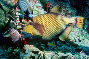 Titan triggerfish feeds on coral. Wrasses waiting for escaping prey. Andaman Sea  -  Georgette Douwma