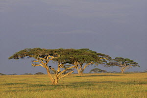 Landscape with Acacia trees {Acacia sp.}, Serengeti, Tanzania. - Mike Wilkes