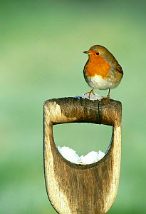 Robin {Erithacus rubecula} perched on garden fork or spade handle in winter, UK.  -  David Tipling