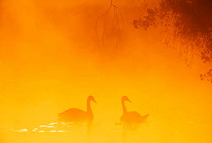 Silhouette through mist of two Mute Swans {Cygnus olor} on water, UK. - David Tipling