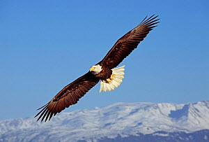 Bald Eagle {Haliaeetus leucocephalus} in flight, Alaska, USA.  -  David Tipling