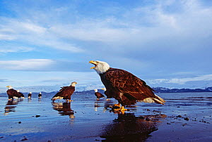 Group of Bald Eagles {Haliaeetus leucocephalus} shoreline, Alaska, USA.  -  David Tipling