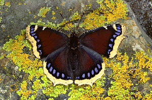 Camberwell beauty butterfly {Nymphalis antiopa} on a lichen covered rock, Europe.  -  Hans Christoph Kappel