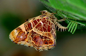 Map butterfly {Araschnia levana} laying eggs on a nettle, Europe. - Hans Christoph Kappel