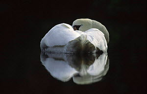 Mute swan {Cygnus olor} reflection resting on water, Europe.  -  Hans Christoph Kappel