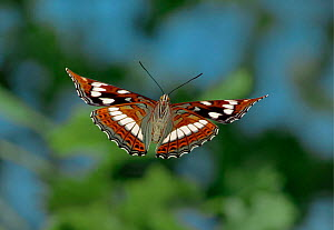 Poplar admiral butterfly in flight, Europe.  -  Hans Christoph Kappel