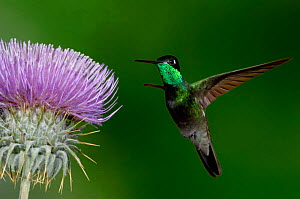 Magnificent Hummingbird {Eugenes fulgens} juvenile feeding on garden flowers, USA.  -  Dave Watts