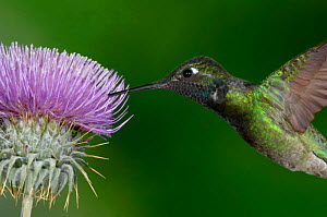 Magnificent Hummingbird {Eugenes fulgens} adult feeding on garden flowers, USA.  -  Dave Watts