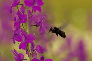Carpenter bee {Xylocopa violacea} adult flying to Larkspur {Consolida ajacis}, Bulgaria. - Dietmar Nill