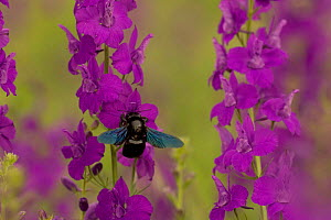 Carpenter bee {Xylocopa violacea} adult feeding on Larkspur {Consolida ajacis}, Bulgaria. - Dietmar Nill