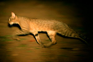 African Wild Cat {Felis lybica} hunting at night, Okavango Delta, Botswana.  -  Christophe Courteau