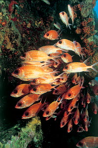 Longspine squirrelfish {Holocentrus rufus} on the wreck of the SS Rhone, British Virgin Is, Caribbean.  -  Michael Pitts