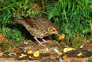 Song thrush {Turdus philomelos} breaking snails on stone anvil, France  -  Dave Watts