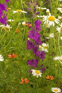 Mixed wild field flowers including Larkspur and Ox-eye daisy, Bulgaria.  -  Dietmar Nill
