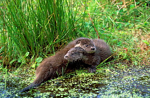 European river otters playing beside lake {Lutra lutra} Mazury, Poland  -  Artur Tabor