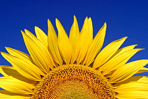 Sunflower {Helianthus annuus} Spain  -  Juan Manuel Borrero
