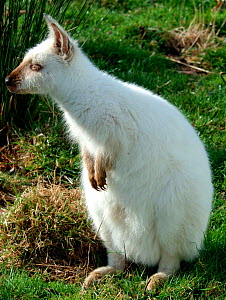 Albino Red necked / Bennett's wallaby, {Macropus rufogriseus}, Tasmania,  -  Brent Hedges