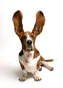 Basset Hound {Canis familiaris}  -  Barry Bland