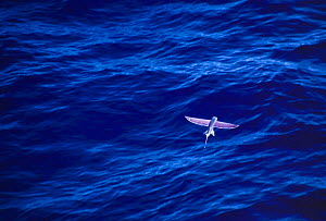 California flying fish {Cypselurus californicus} in flight above sea surface, Pacific.  -  Todd Pusser