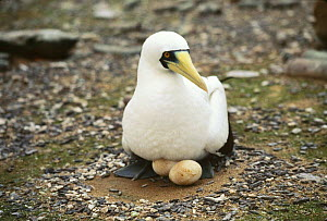 Masked booby {Sula dactylatra melanops} incubating eggs, Clipperton Island, Pacific  -  Todd Pusser