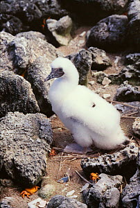 Masked booby {Sula dactylatra melanops} chick, Clipperton Island, Pacific.  -  Todd Pusser