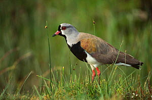 Southern lapwing {Vanellus chilensis} standing in grass, Chiloe Islands, Chile.  -  Todd Pusser