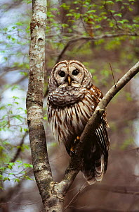 Barred owl { Strix varia} perching on branch, South Carolina, USA. - Todd Pusser