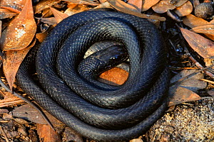 Southern black racer {Coluber constrictor priapus} coiled under log, North Carolina, USA  -  Todd Pusser