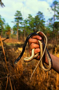 Coachwip snake {Masticophis flagellum} held in  hand, North Carolina, USA  -  Todd Pusser