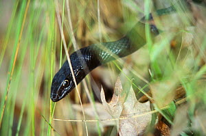 Coachwip snake {Masticophis flagellum} in long grass,  North Carolina, USA  -  Todd Pusser