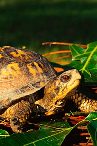 Eastern box turtle {Terrapene carolina carolina}, North Carolina, USA  -  Todd Pusser